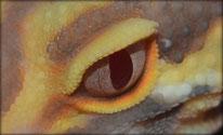 Auge Bell/ Florida Albino