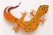 Green & Tangerine (Emerine Linienzucht von Ultimate Geckos)