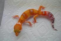 Atomic - SHTCTB Linienzucht (von A&M Geckos)