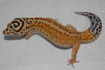 Redstripe (roter Streifen entlang der Wirbelsäule, Linienzucht von JMG Reptile)