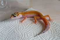 White & Yellow Tangerine (SHT)