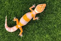 Tangelo - Tangerine Tremper Albino Linienzucht (von Ron Tremper)