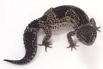 Carbon - Hyper Melanistic Linienzucht des Wildtyp (Ultimate Geckos)