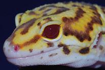 Bell Albino Eclipse (RADAR)