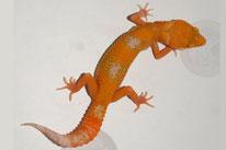 Amber Sunglow - Sunglow Linienzucht (von DC Geckos)