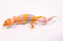 Copper Tremper Albino (DC Geckos)