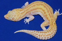 Patternless Stripe (GEM Snow Raptor)
