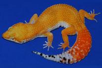 Tangerine Tornado (TT) (Linienzucht von Craig Stewart, The Urban Gecko)
