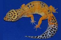 Hypo Tangerine . Wildtyp Linienzucht mit reduzierter Zeichnung und Orange
