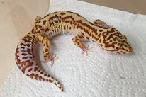 Stealth/ Mack Snow RADAR - MS Bell Albino Eclipse Patternless Stripe