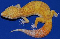 Typhoon - Rainwater Albino Eclipse Patternless Stripe (Rainwater RAPTOR)