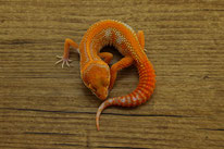 Red Diamond/ Blood Diamond - Tremper Albino Linienzucht mit kräftigem Orange