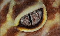 Auge Tremper/ Texas Albino