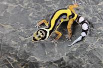 Bandit Boldstripe - Linienzucht des Wildtyp (schwarzes Nasenband)