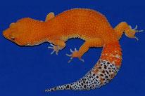Blood Hypo Tangerine (Linie von JMG Reptile aka Jeff Galewood)
