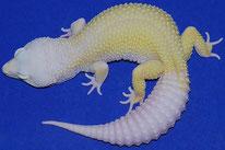 Mack Snow Murphy Patternless Albino