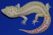 Mack Snow RAPTOR - MS Tremper Albino Eclipse Patternless Stripe