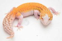 Sunfire RADAR - RADAR Linienzucht (von DC Geckos)