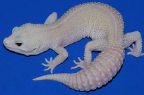 Mack Super Snow Rainwater Albino