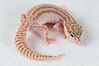 Mack Super Snow Tremper Albino