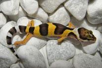 High Yellow - Wildtyp Linienzucht