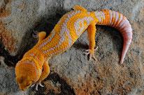 Golden Candy Cane - Designer Linienzucht des Tangerine Tremper Albino