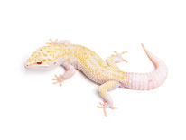 Icicle (Enigma TUG Snow Tremper Albino Eclipse) by The Urban Gecko