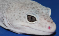Nicht Albino Auge (MS Enigma)