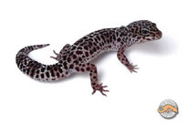 Onyx - Dunkle Zeichnungsmutation bei TUG Snow (The Urban Gecko)