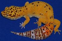 (Tangerine) Bell Albino