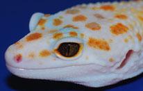 Enigma Tremper Albino by Steve Sykes