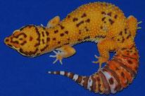 Tangerine Bell Albino - Orange Farbverstärkung mit Carrottail (CT)