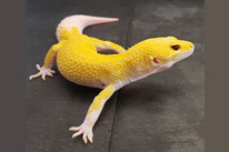 Predator - Bell Albino Eclipse Murphy Patternless