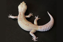 Enigma Typhoon ( Rainwater Albino Eclipse) by Roddas Reptiles