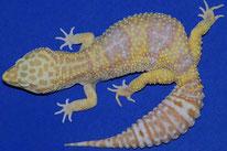 Tremper/ Texas Albino