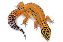 Afghan Tangerine (Ultimate Geckos) - Linienzucht mit Eublepharis m. afghanicus