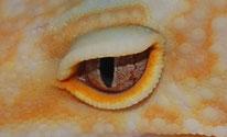 Auge Rainwater/ Las Vegas Albino