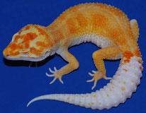 Enigma Tangerine Tremper Albino