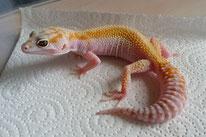 W&Y Tremper Albino