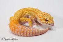 RAPTOR - Tangerine Tremper Albino Eclipse Patternless Stripe