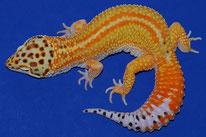 Redstripe (auch als Bell, Tremper und Rainwater Albino möglich)