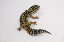 Hyper Xanthic - Wildtyp Linienzucht von JMG Reptile)
