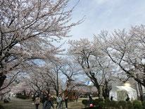 満開の桜が咲き誇る高田公園