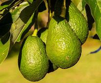 Avocado Früchte hängend am Baum