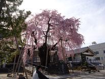 専照寺の枝垂桜