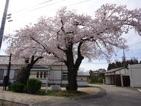 元測候所の桜。2004年(平成14年)まで飯田地方の開花標準木でした。