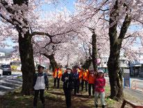 大宮通りの桜のトンネルです。