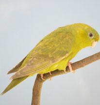 Bolborhynchus lineola (Katharinasittich)           DF SL grauflügel grün