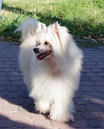 щенок китайской хохлатой собаки пуховая девочка
