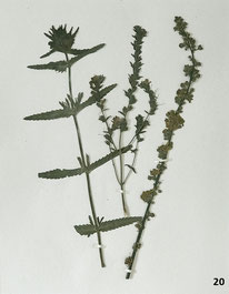 19th century Pressed woodland plants or herbarium